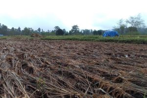माडीमा लगातार परेको झरीले धानबाली सखाप