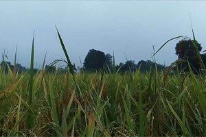 माडीमा हावाहुरी सहित ठुलो पानी पर्दा धान काट्न किसानलाई मुस्किल